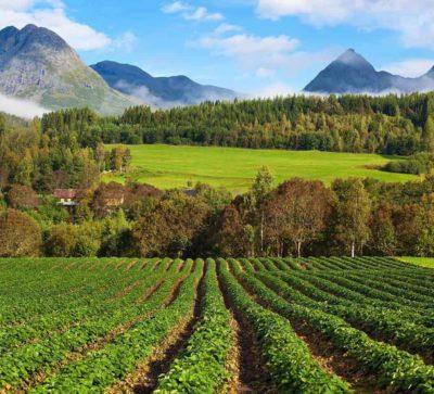 Aardbeien groeiend in de velden tussen de bergen in Valldal