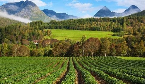 Strawberries growing in the fields between the mountains in Valldal