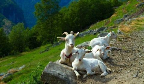 Hvite geiter slapper av ved siden av veien i fjellene utenfor Geiranger, Norge